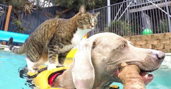 Кошка плывет верхом на собаке