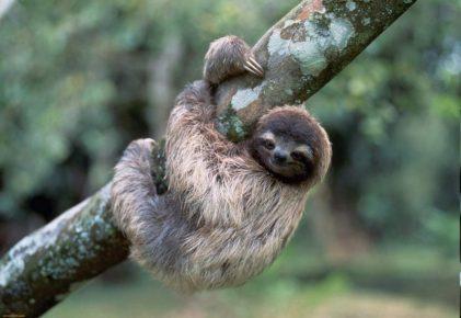 Ленивец — самое необычное животное мира