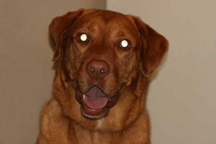 Собака со светящимися глазами