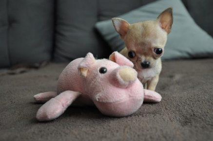 Самая маленькая собака в мире с игрушкой