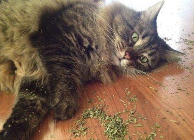 Кошка лежит рядом с рассыпаной валерианой