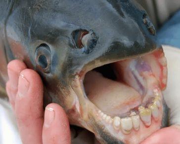 Рыба-паку