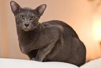 Ориентальная кошка сидит