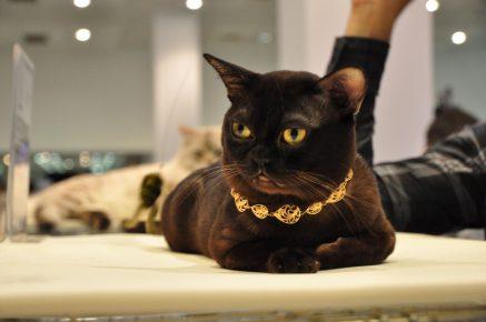 Бурманская кошка в золотом ошейнике