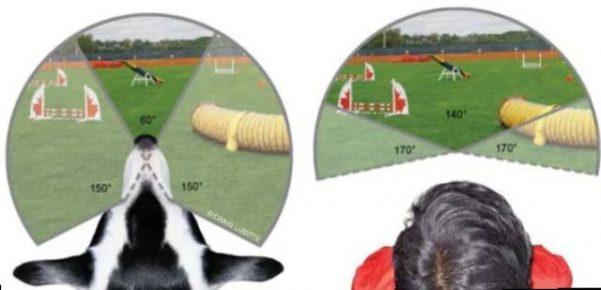 Различия угла обзора у собак и людей