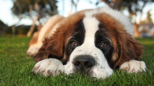 Сенбернар — самая добрая порода собак