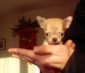 Самая маленькая собака в мире на руках