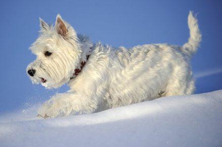 Вест-хайленд-уайт-терьер на снегу