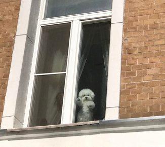 Бишон фризе в окне