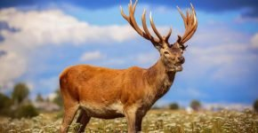 Благородный олень - марал