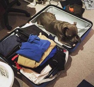Питбультерьер в чемодане