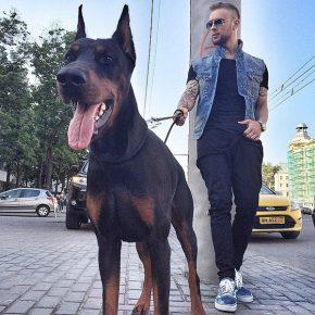 Егор Крид гуляет с доберманом