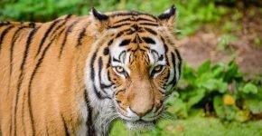 Есть ли тигр в Апатитах?