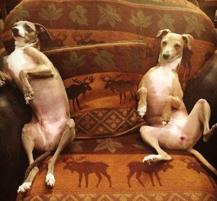 Грейхаунды в кресле