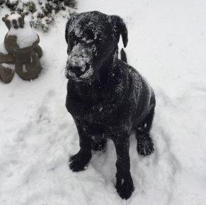 Лабрадор в снегу