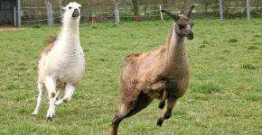Ламы бегут