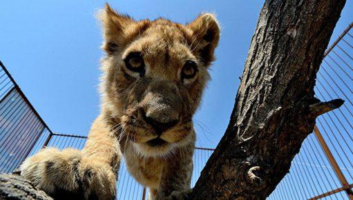 Львёнок пять месяцев жил в квартире