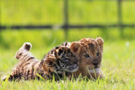 Малыши передвижного зоопарка любят рычать
