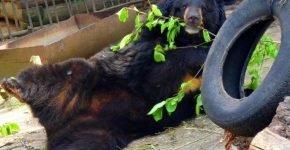 Медведи Большереченская питаются мороженным
