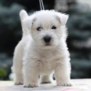 Собака породы вест-хайленд-уайт-терьер