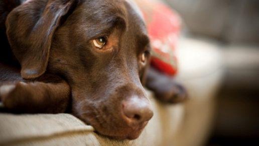 Печальная собака