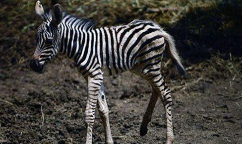 Первая зебра, рождённая в Приморье