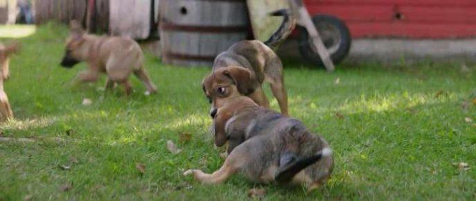 Беспородные щенки из «Собачьей жизни»