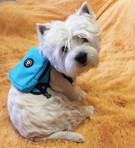 Собака из рекламы корма «Цезарь»