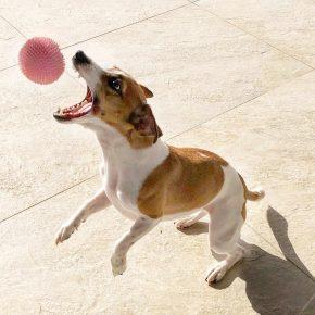 Джек-рассел-терьер с мячом