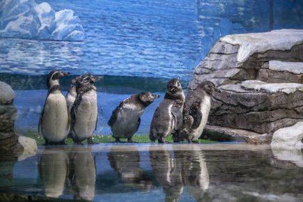 Пять пингвинов океанариума переживают линьку