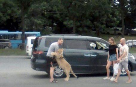 Ручного льва выгуливают, как домашнее животное