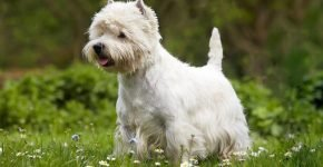 Собака какой породы снималась в рекламе корма «Цезарь»