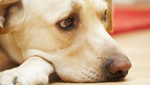 Собака переживает за хозяина