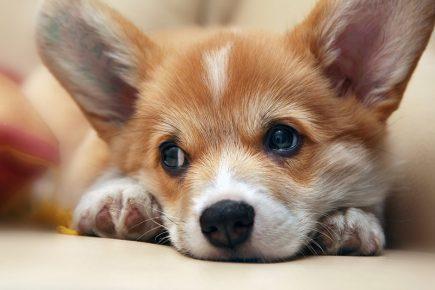 Собака породы вельш-корги