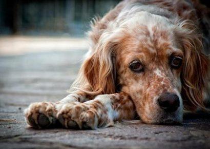 Собака после энтерита
