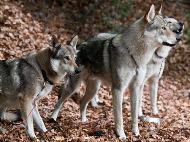 Собаки северной инуитской породы