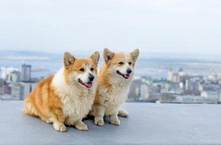 Собаки вельш-корги пемброк