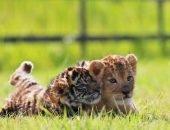 Тигрёнок и львёнок ждут имён
