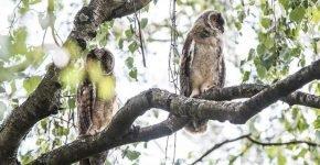 Ушастые совы поселились в Москве