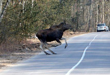 В Удмуртии лоси гибнут под колёсами авто чаще людей