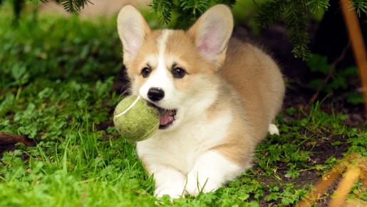 Вельш-корги с мячом