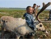 Ветеринары вакцинируют северных оленей