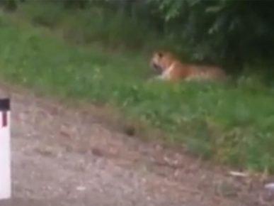 Жители Апатитов выкладывают в соцсети с тигром