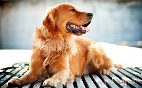 Золотистый ретривер — самая добрая собака в мире
