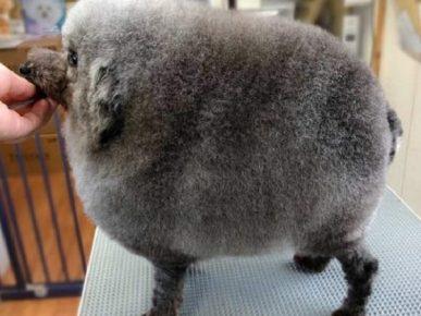 Безумная стрижка собаки под круглую овцу