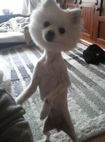 Безумная стрижка собаки в виде шарика на тонких лапках