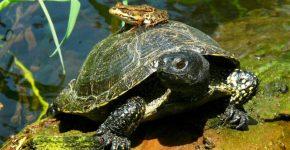 Черепахи-путушественницы