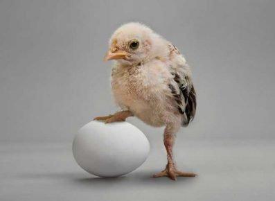 Цыплёнок и яйцо
