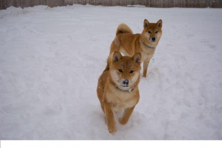 Две собаки сиба на снегу