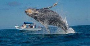 Горбатый кит «помахал» плавником